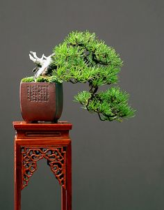 Mugo Pine (Pinus mugo)  Height: 20 cm, 7.87 inches  Pot: Peter Krebs  Categories: Best Overall Shohin Bonsai and Best European Shohin Bonsai.  Artist: Walter Pall