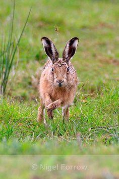 Brown Hare running straight towards the camera - Hare British Wildlife, Wool Art, Felted Wool, Hare, Rabbits, Kangaroo, Bunnies, Birth, Cute Animals