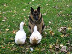 Deux oies et un chien en réunion d'affaires. | 51 photos d'animaux qu'il faut voir avant de mourir