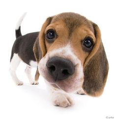 Artlist Collection THE DOG (Beagle) — A dog's smell is estimated to be 1 million times better than human's smell.