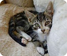 Westampton, NJ - Domestic Shorthair. Meet Maddi 35397043, a kitten for adoption. http://www.adoptapet.com/pet/18480560-westampton-new-jersey-kitten