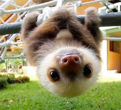 Adorable Sloth.