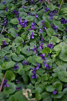 7a. Bodembedekker voor onder Hortensia's: Viola odorata 'The Czar'. Wintergroen en geurende bloemen in maart. Bloemen & blad zijn eetbaar (bv in salade).