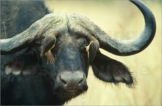 Frans Lanting - An African buffalo allows a pair of oxpeckers to clean his eyelids