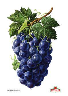 Grapes, Illustration by Inorama Fruit Illustration, Food Illustrations, Botanical Illustration, Watercolor Fruit, Fruit Painting, Fruit And Veg, Fruits And Veggies, Vegetables, Botanical Drawings