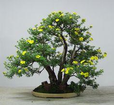 Potentilla Hennie Roos.jpg - Potentilla fruticosa - Hennie Roos - H:  50 cm