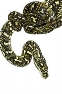 Diamond Python - Morelia spilota spilota - Australian Reptile Park