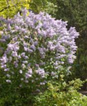 šeřík Planting, Gardening, Plants, Garten, Lawn And Garden, Garden, Square Foot Gardening, Garden Care, Horticulture