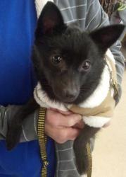 Schipperke/Chihuahua Mix:                   An adoptable                                    dog                                     in                   Wichita, KS
