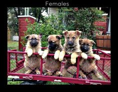 3 CKC German Shepherd Puppies for Sale!  Available: 3 Females> Father CKC-AKC Registered and from the RinTinTin Lineage! All shots and wormer, ready to go soon! Born September the 27th, 2015. Very Sma