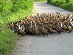 Make way for 2000 Ducks!!