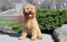 Irish Doodle Puppieoyen Poodle Puppies By Darling Doodles Is Located In Carson City Nv Close To San Francisco California