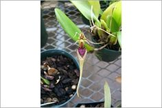 Cirrhopetalum  Additional Common Names: Old World Orchid Scientific Name: Bulbophyllum appendiculatum Family: Orchidaceae Toxicity: Non-Toxic to Dogs, Non-Toxic to Cats