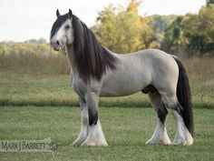 Vanner Mare  8566-3 :: Horses Stock Photography and Equine Images by Mark J. Barrett