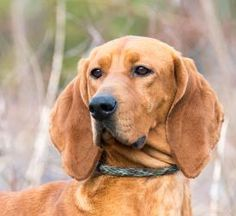 Meet Candice, an adopted Redbone Coonhound & Irish Setter Mix Dog, from Gloucester Animal Control Outreach Program in Gloucester, VA on Petfinder. Learn more about Candice today. Cavalier Rescue, Redbone Coonhound, Hound Breeds, Irish Setter, Puppy Mills, Animal Control, Shelter Dogs, Animal Rights, Humane Society