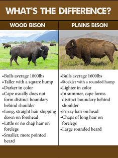 Chart explaining differences between Wood Bison and Plains Bison