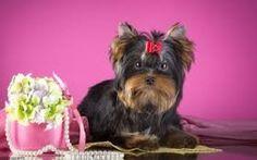 Znalezione obrazy dla zapytania yorkshire terrier tapety