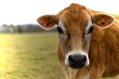 Miniature Breeds Of Cattle That Are Perfect For Small Farms Barnyard Animals, Cute Animals, Wild Animals, Jersey Cattle, Jersey Cows, Fluffy Cows, Cow Pictures, Cow Face, Baby Cows