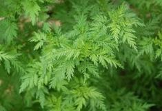 Sweet Annie Wormwood Seeds, Artemisia annua, Chinese Medicinal  Qing-guo, Herb, Mugwort,  Used In Cr
