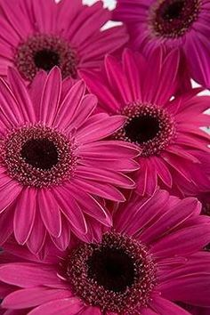 Dark Pink Gerbera Daisies****FOLLOW OUR UNIQUE GARDENING BOARDS AT www.pinterest.com/earthwormtec *****FOLLOW us on www.facebook.com/earthwormtec & www.google.com/+Earthwormtechnologies for great organic gardening tips #pink #daisy #flower