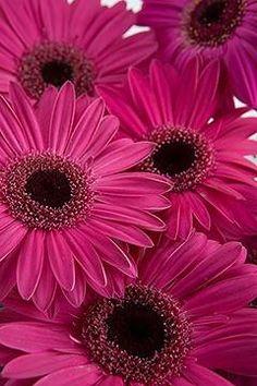 Dark Pink Gerbera Daisies****FOLLOW OUR UNIQUE GARDENING BOARDS AT www.pinterest.com/earthwormtec *****FOLLOW us on www.facebook.com/earthwormtec & www.google.com/+Earthwormtechnologies for great organic gardening tips #pink #daisy #flower