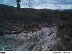 FOTO 2. Autor: Mario Antonio Serra Ortiz Localidad: Ejido Tanque de Arenas, Municipio de Catorce, San Luis Potosí. (México) Especie: Coyote (Canis latrans) Título: Un paseo por el semidesierto