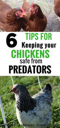 Keeping your chickens safe from predators. Keeping your chickens safe from predators. Building A Chicken Coop, Diy Chicken Coop, Chicken Ideas, Chicken Garden, Urban Chickens, Meat Chickens, Keeping Chickens, Raising Chickens, How To Raise Chickens