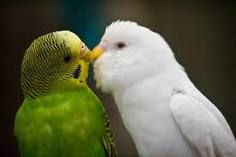 Parakeet - the white one in this picture looks like Pearl, who decided to lay eggs when my lovebirds started laying eggs.  She was a trooper and a love bug herself.