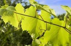 Grape cuttings are an inexpensive and easy way to gain new plants from a mature rootstock.