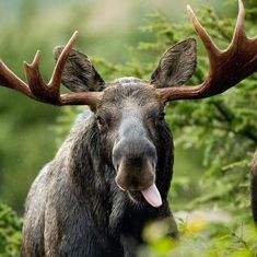 Just saw a moose for the first time this weekend in Algonquin Park she was about 2 and so beautiful what an amazing animal! Or is that moose derping all over the place? Nature Animals, Animals And Pets, Funny Animals, Cute Animals, Amor Animal, Mundo Animal, Beautiful Creatures, Animals Beautiful, Bull Moose