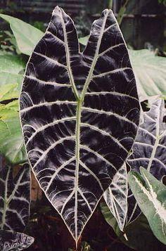 Alocasia watsoniana - Black Giant Jewel