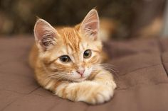 Many people do not know what they need to do when they bring in their furry, or some like to call it the bundle of joy in their home. #BlueKitten #BuyKitten #BestKitten Buy A Kitten, Kitten For Sale, Boy Cat Names, Buy A Dog, Animal Rescue Site, Large Dog Breeds, Cattery, Cute Cats, Cat Lovers