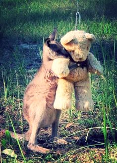 This orphaned wallaby loves his teddy.