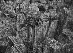 Gênesis | A palmeira de Madagascar é uma planta decorativa popular que pode atingir altura de seis metros. 2010.