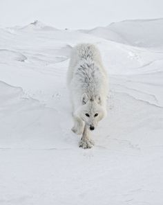 Vincent Munier, wildlife photographer The White Wolf, also know as well as the Ghost of the Tundra