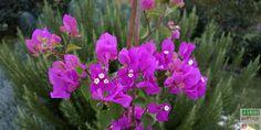 Le Bougainvillier est une plante volubile appréciée pour sa floraison à la fois généreuse et lumineu