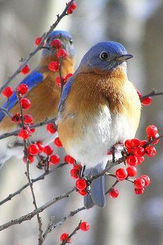 Eastern Bluebird looking beautiful