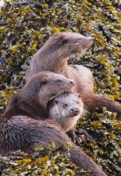 Otter, Isle of Mull, Inner Hebrides, Scotland