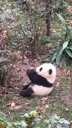 babypanda Chengdu #パンダ #赤ちゃん