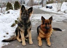 king shepherd dog photo | MaunaKea is a very large heavy built King Shepherd Puppy.