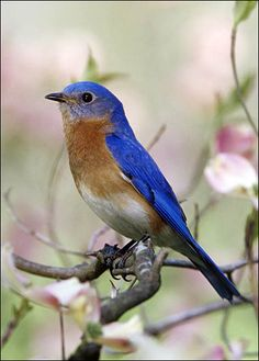 EASTERN BLUEBIRD  Sialia sialis    Bird Spotting: True to its name the male eastern bluebird is colored a brilliant blue along its back, wings and tail. The chest is reddish orange. Females are similar in appearance, but not quite as bright.