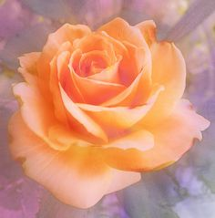 peach rose by buttersweet, via Flickr