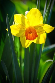 Daffodil - The Colours Of Spring I by Alfred Pilar on 500px