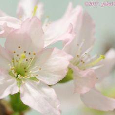 【yoko178camera】さんのInstagramをピンしています。 《Thank you for looking at my gallery. #啓翁桜 花開いたら〜 柔らかなピンクにきゅん(*´꒳`*) 真ん中グリーンのお星さま☆ ※友の家のサクラです🌸 あっという間に花は散り 今は葉っぱ🍃を愛でているって♫ … 1週間あっという間の様な、長い様な(´ー`) 春よ〜早く来いっ♫ … #桜 #山形産 #sakura #cherryblossoms #ファインダー越しの私の世界 #はなまっぷ #flowersandmacro #superb_flowers #KINGS_FLORA  #great_captures_flowers #LOVES_FLOWERS #_international_flowers_ #bns_flowers #bestflowerspics #flower_special_ #myheartinshots #ig_myshot #explore_macro #excellent_macros #global_nature_macro…