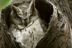 This is a Indian Scops-Owl (Otus bakkamoena) photo page of the Mangoverde World Bird Guide. Nocturne, Beautiful Birds, Animals Beautiful, Owl Species, World Birds, Power Animal, The Pussycat, Wise Owl, Night Owl
