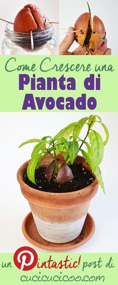 Come crescere una pianta di avocado dal seme -- Funziona DAVVERO!! www.cucicucicoo.com