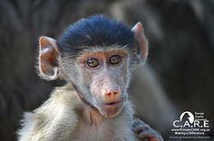 Chacma Baboon Baby Wild at C.A.R.E.