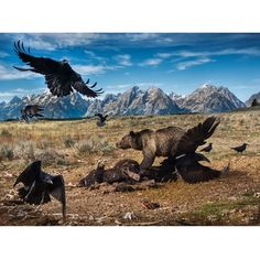 photo by @chamiltonjames / Charlie Hamilton James - A male grizzly bear chases ravens from a bison carcass in Grand Teton National Park, Wyoming. The bison, a road kill, was placed away from the road by National Park workers and provides food for ravens, bald eagles, vultures, bears, wolves and foxes. Grizzly bears in Grand Teton have been waking up from hibernation over recent weeks - it's a great place to go and see them. This image was shot for the upcoming edition of National ....