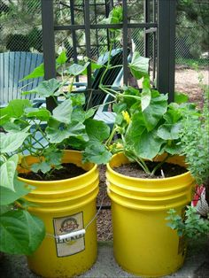 bucket gardening 6