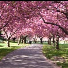 Cherry blossom washington, Dc